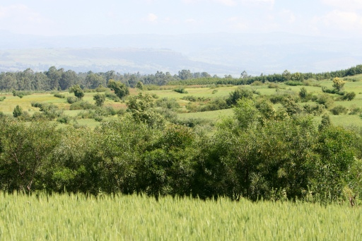 The Shegeza Watershed, with terraced fields bordered by forage crops planted on bunds