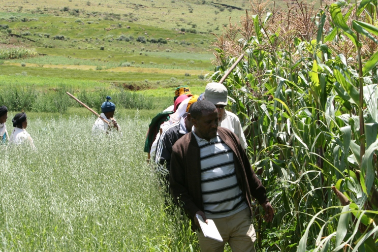 Walking between fields of wild oats and maize twice as tall as the average Ethiopian